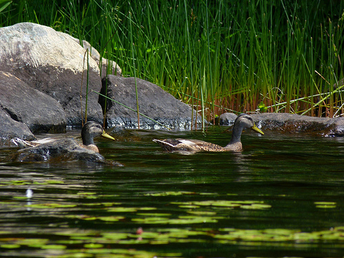 Post image for Ducks on a pond | Picture Massachusetts