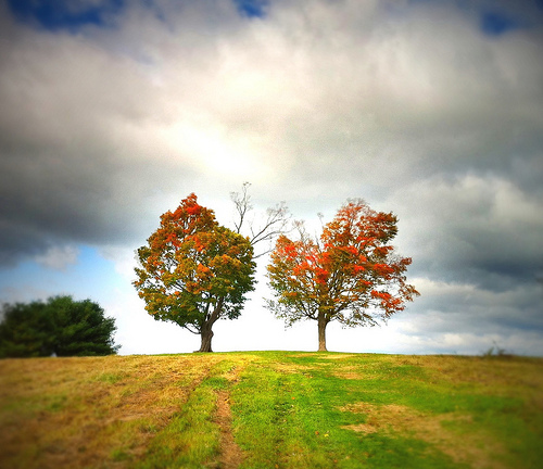 Post image for Two Maple Trees | Picture Massachusetts